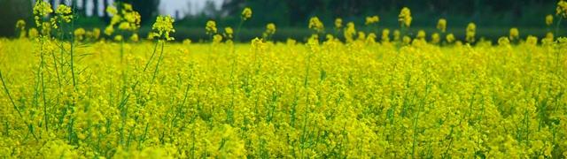 Giallo, come i fiori di questo campo
