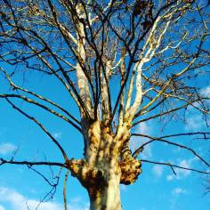 Spinea - White tree and blue sky, on an early morning run.